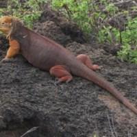 Iguanas dispersoras de semillas