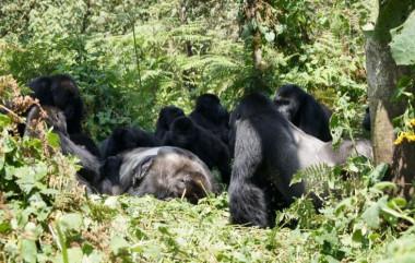Un grupo de gorilas de Grauer se reúne alrededor del cuerpo de un gorila macho en el bosque del Parque Nacional Kahuzi-Biega. / <a href=&quot;/www.gorillafund.org&quot; target=&quot;_blank&quot; rel=