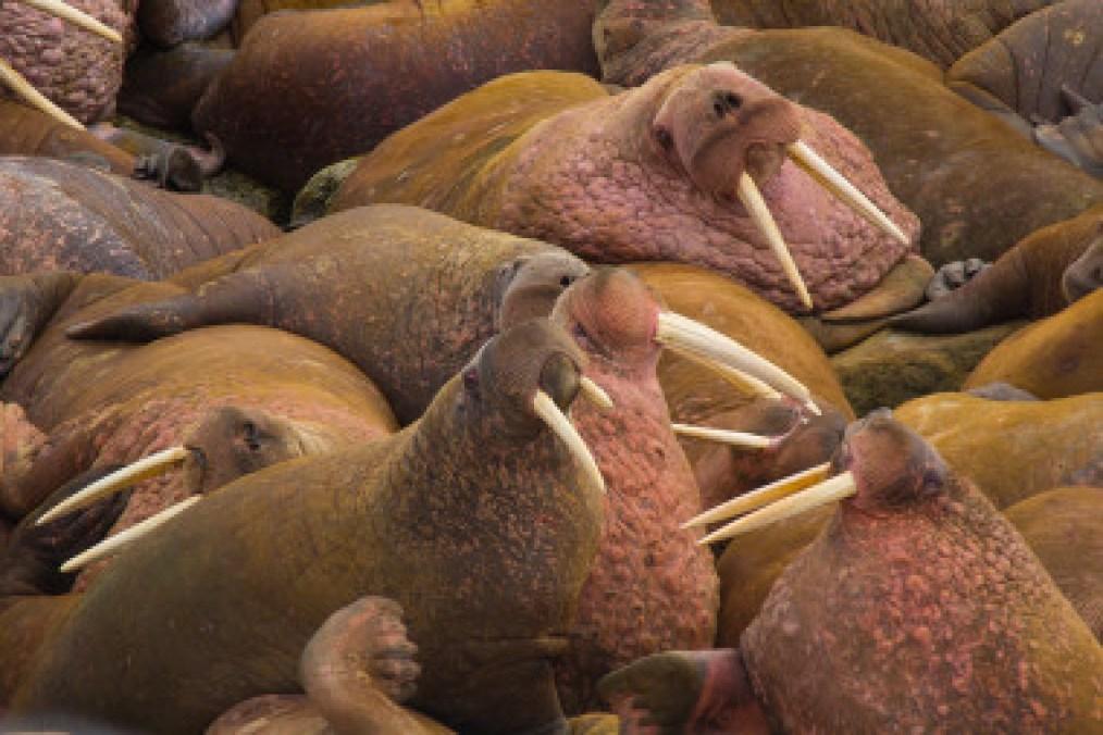 <p>Morsas del Pacífico (<em>Odobenus rosmarus divergens</em>)/ Beringia National Park</p>