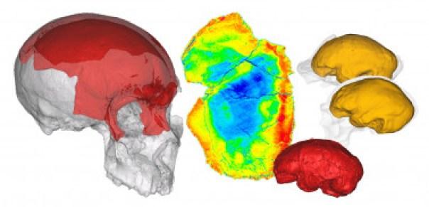 <p> <em>Reconstrucciones digitales publicadas en los estudios paleoneurológicos de los fósiles de Maba (China), Gran Dolina (España) y Buia (Eritrea ) /E. Bruner</em><br /><em></em></p>