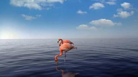 Fenicotteri a Flamingo Beach ad Aruba