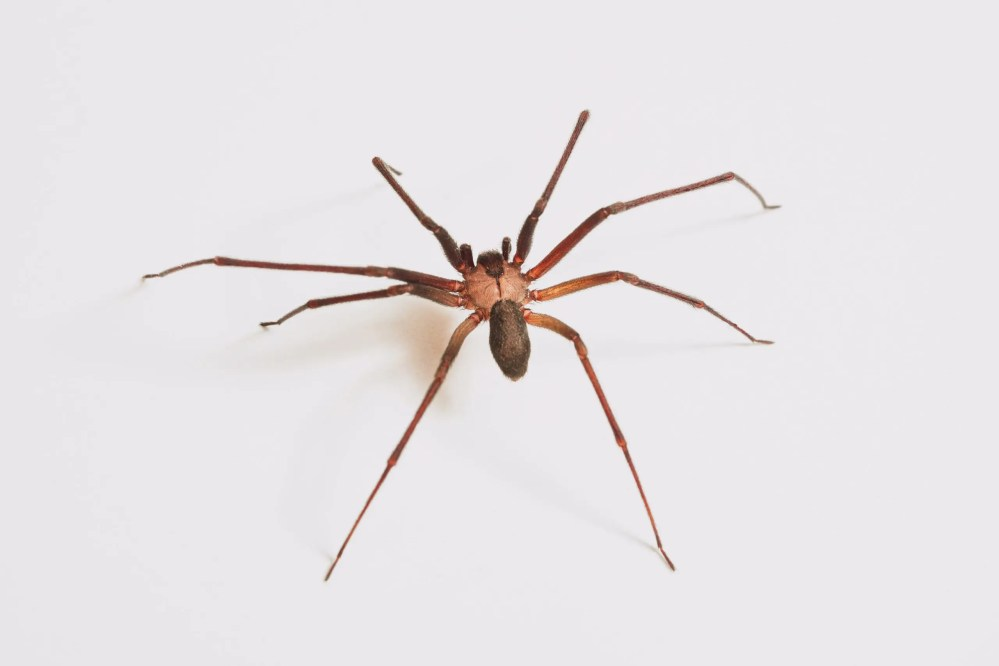 house spiders