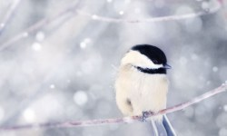 chickadee in snow