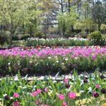 Duke Gardens Tuips