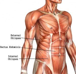 karın kası anatomisi