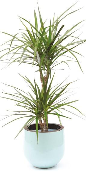 Plante Verte Dintrieur Dracaena Livraison Par Un