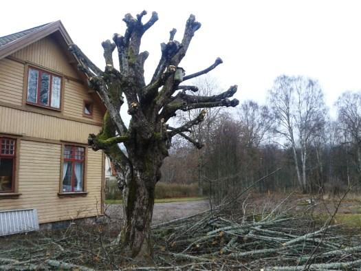 Träden vid Antens stationshus hamlade. Foto: Lars Johansson