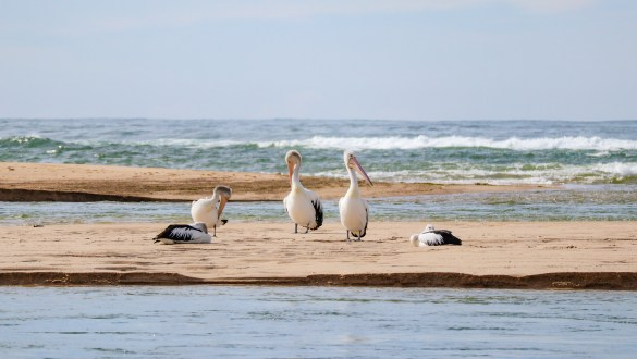 Pelicans at The Entrance in New South Wales
