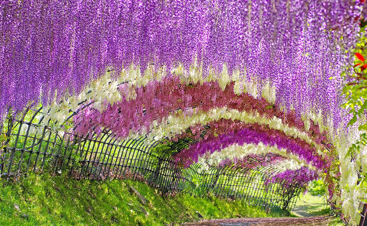 Best time to visit Kyushu-Wisteria Tunnels-Kawachi Wisteria Garden