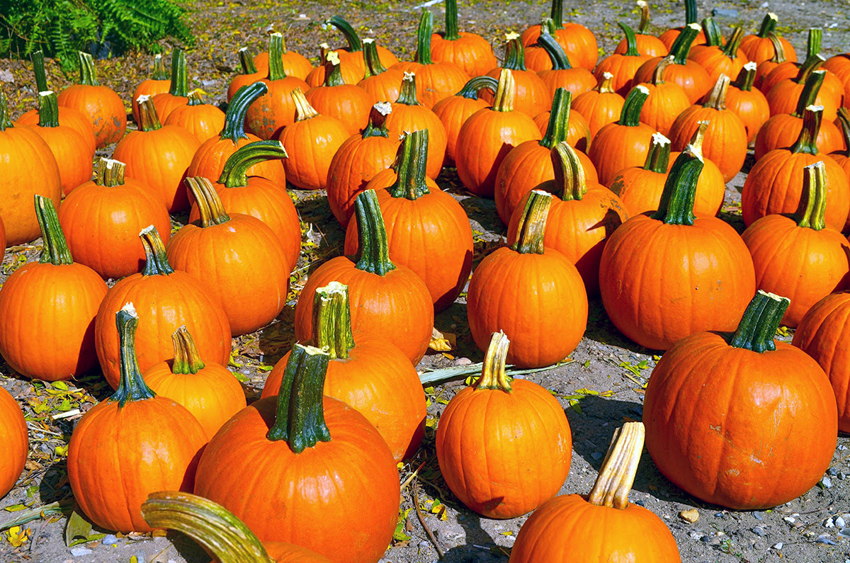 Pumpkin patches-fun fall activities for families-Downey's Farm Market