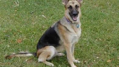 Photo of كلب بوليسي في بريطانيا يقدم إفادة شاهد في قضية