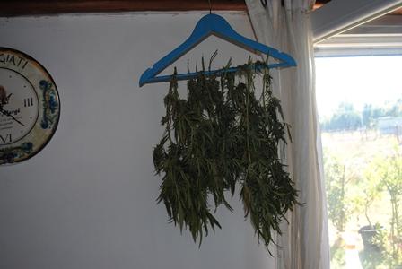 Latina. Coltivazione intensiva di marijuana, arrestato