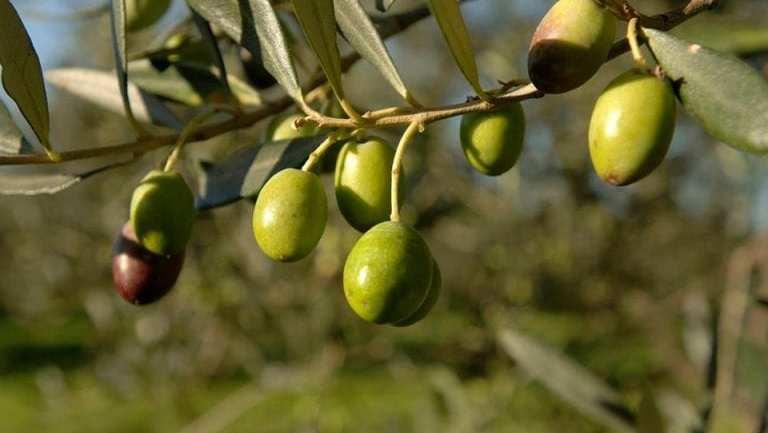 Olii, dipartimento agricoltura Lega Lazio, preoccupato