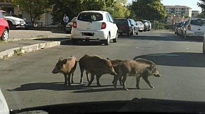 Roma, emergenza cinghiali: FdI incontra le associazioni animaliste