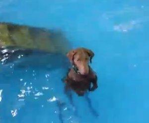 De hond in het zwembad, hij weet het even niet meer