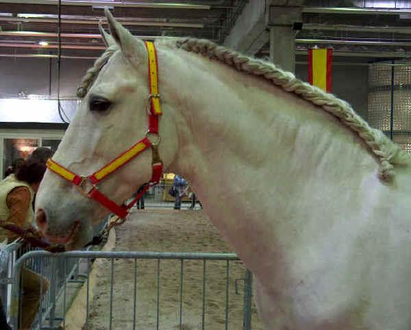 Cavallo Andaluso (Pura Razza Espagnola)