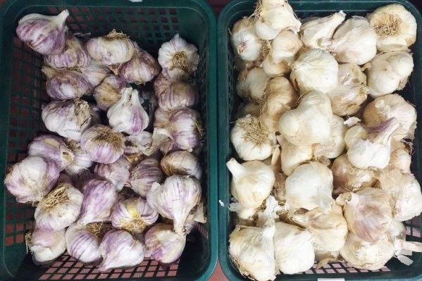 Agli da seme selezionati - Certaldo