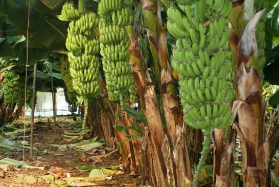 Arboriculture : Réussite du bananier dans le Gharb