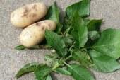 Maraîchage : Maladies de la pomme de terre