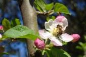 Arbooticulture : Pollinisation et conservation pommes