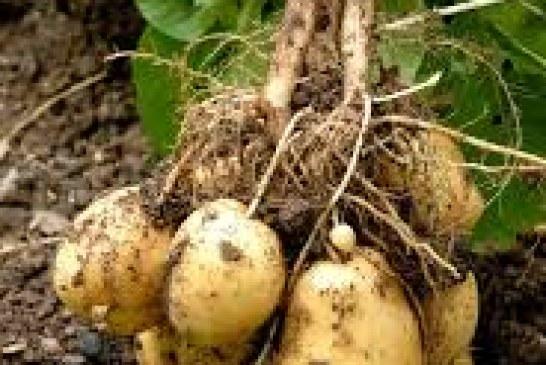 Irrigation : Pomme de terre et ressources hydriques
