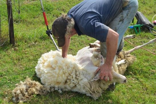 Insolite! Record de tonte de moutons