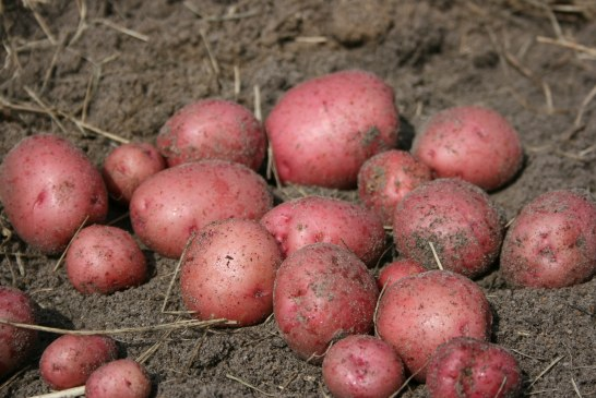 Pomme de terre :  Sauvons l'export