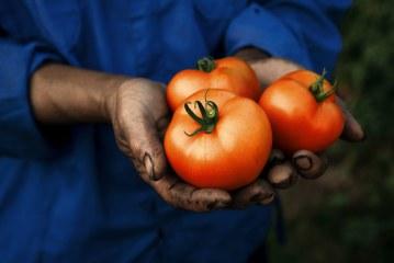 Tomate de plein champ dans la région côtière Rabat-Safi