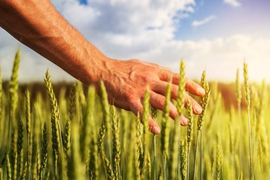 Consommation de blé tendre et de blé dur au Maroc