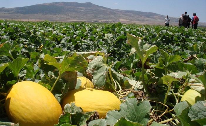 Melon : Diversification et consommation soutenues sur le marché local