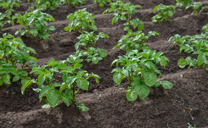 Mildiou de la pomme de terre: Combinaison des approches pour une lutter efficace