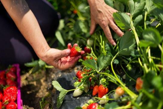 Fraisier:  les variétés, outil de base pour le développement
