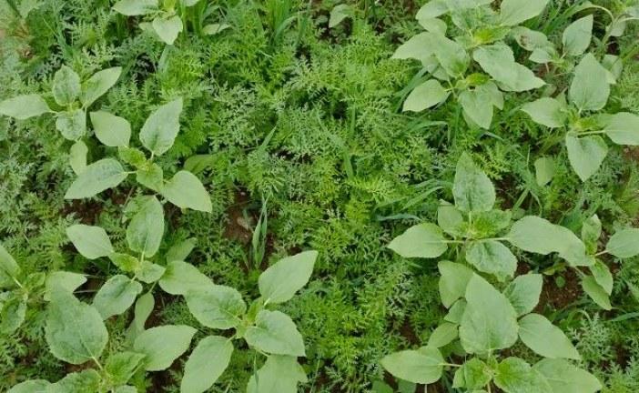 AGRICULTURE BIOLOGIQUE : Sept clés pour des intercultures efficaces