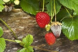 Botrytis de la fraise: Dépendance de la météo et lutte
