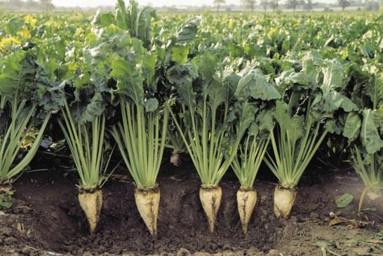 Principaux ravageurs de la betterave à sucre dans le Gharb