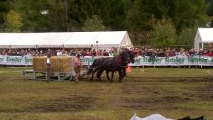 horse pulling contest