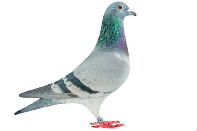 How to be successful at pigeon racing 1