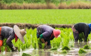 Rice-farmers