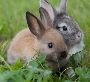 Rabbits feeds and feeding management