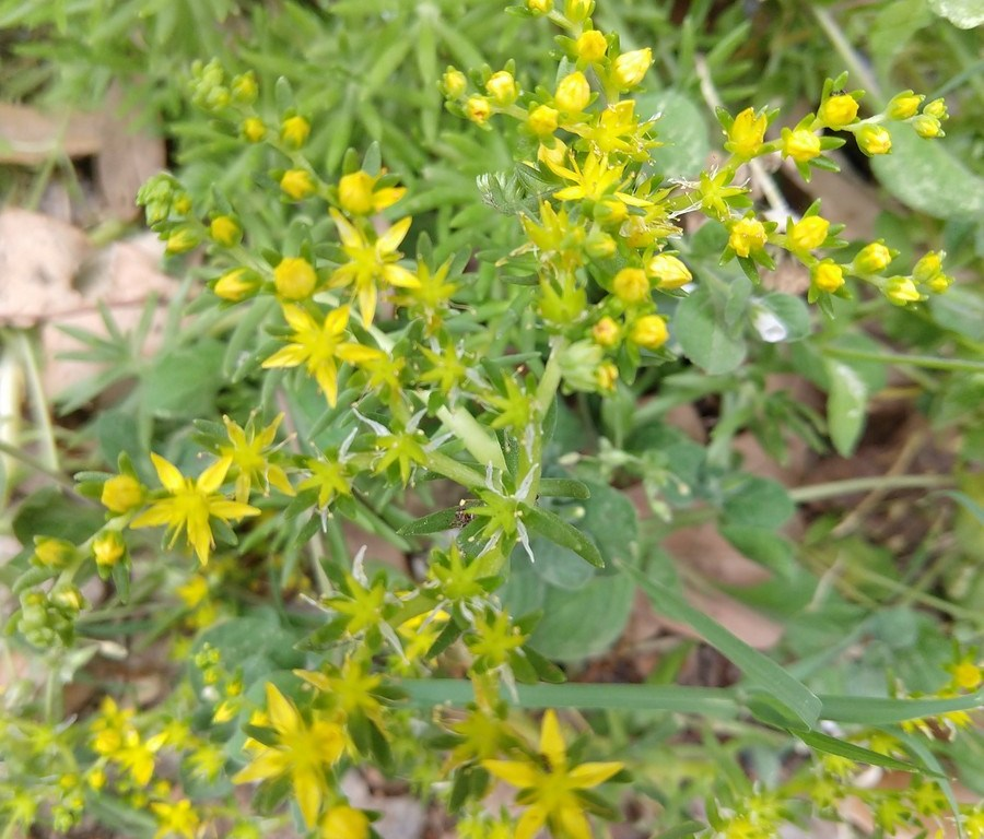 Little yellow flowers agricrafty little yellow flowers mightylinksfo