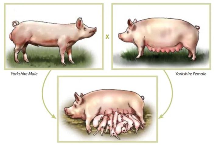 Reproducere porc