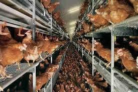 عالم الزراعة تربية الدجاج انتاج البيض