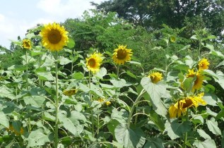 There is a good market for sunflower seed for oil extraction