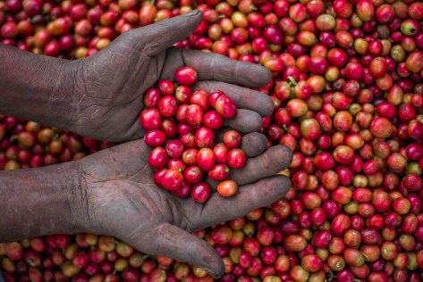 Rich red hand picked coffee cherry