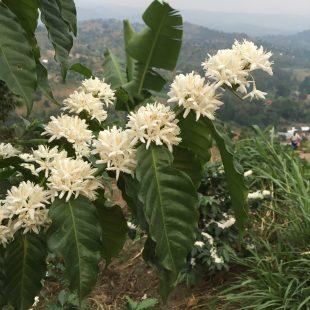 Coffee in full bloom