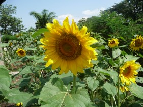 Sunflowers are great for bees too