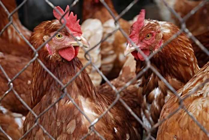 Poultry management practices.