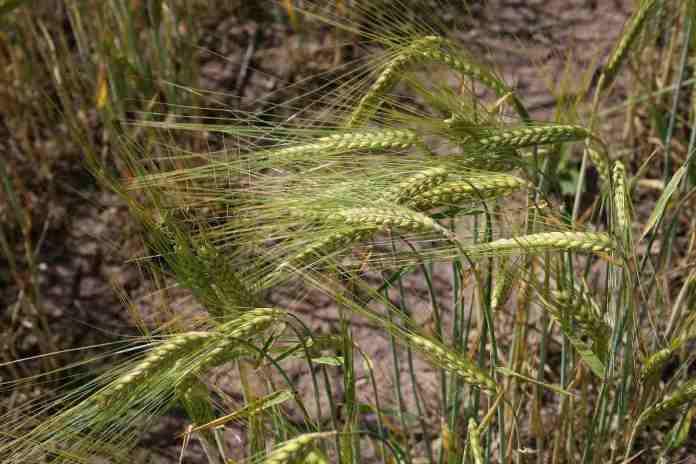 Kharif and Rabi crops