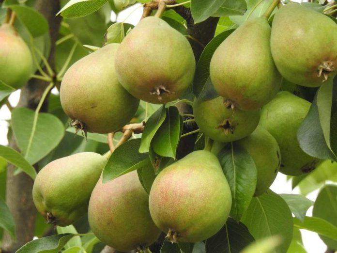 Questions about Growing Pears