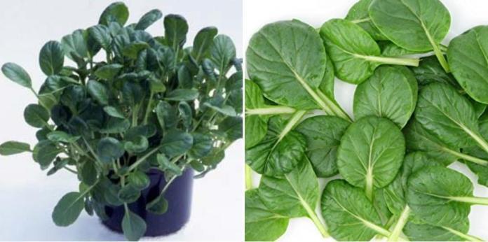 Tips for Growing Tatsoi Plants